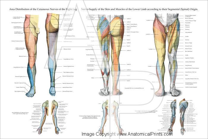 Nerve Innervation Of Lower Extremities Poster 24 X 36 Laminated