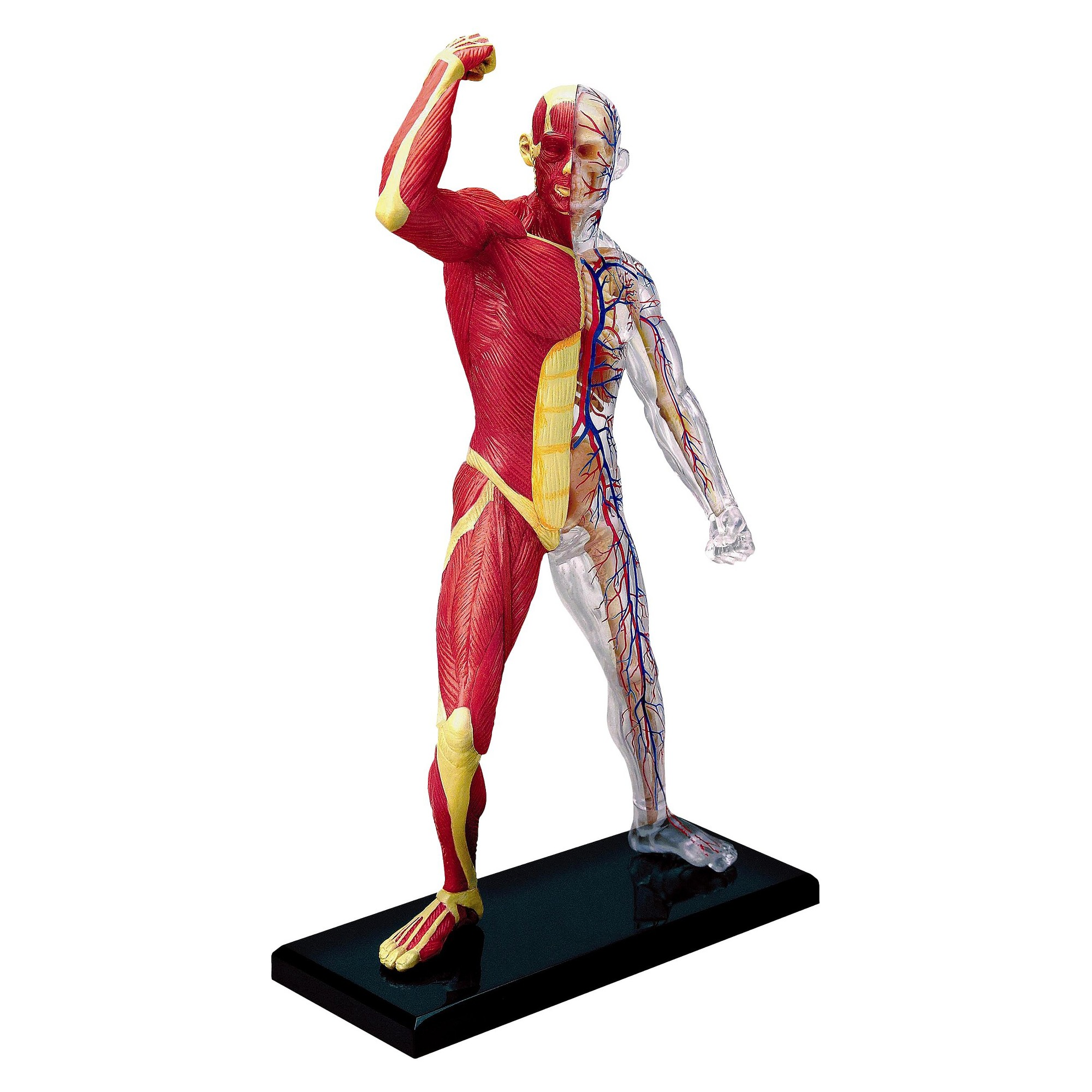 4D Master Human Muscle & Skeleton Anatomy Model 46pc | Pinterest ...