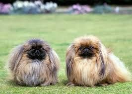 Pekingese Dog And Puppy For Sale In Hyderabad With Low Price We