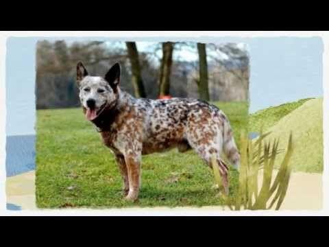Blue Heeler Training How To Train A Blue Heeler Smartest Dog