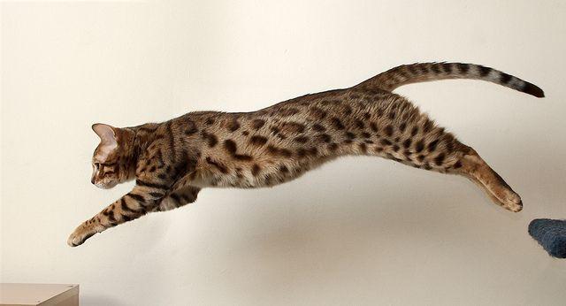 ネコ ジャンプ - Google 検索