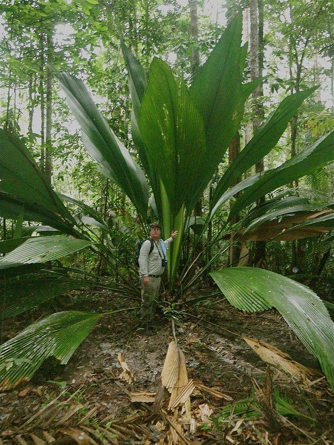 Joey Palm Johannesteijsmannia Altifrons Thailand