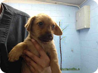 9 3 16 San Bernadino Ca Lab Mix Puppy Click And Find Out More Info Please Don T Let This Baby Be Destroyed Lab Mix Puppies Puppy Adoption Pets