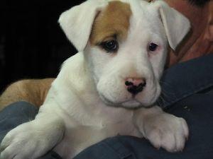 Puppies For Sale Chiots A Vendre Ottawa Ottawa Gatineau Area