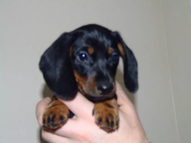 Mini Ature Dachshunds Miniature Dachshund Puppies For Sale In