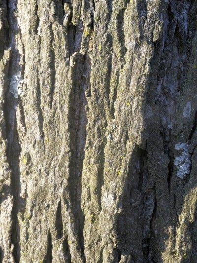 Shagbark Hickory Tree Info Caring For Shagbark Hickory Trees