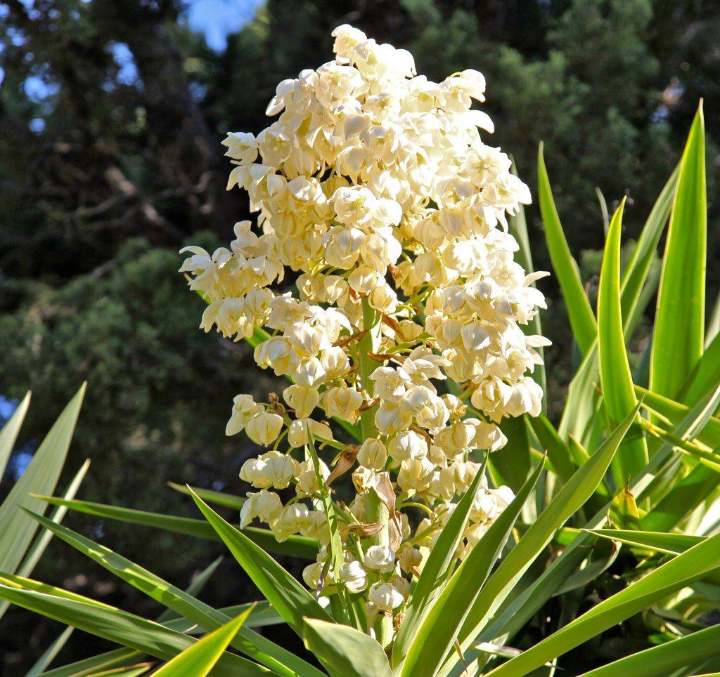 el salvador national flower flor de izote