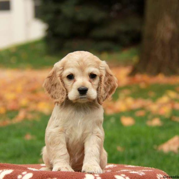 Adding Pinterest To Spaniel Puppies Spaniel Puppies For Sale