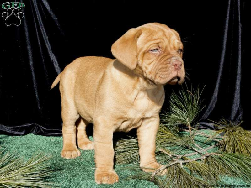 Dora Dogue De Bordeaux French Mastiff Puppy For Sale From Quarryville Pa Bordeaux Dog French Mastiff Puppies French Mastiff