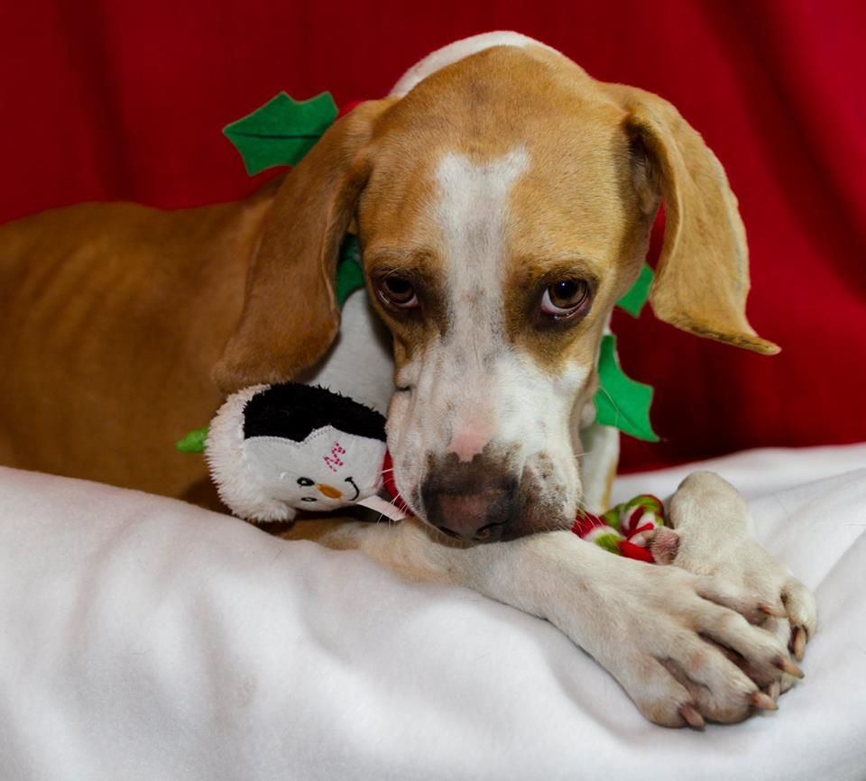 American Foxhound dog for Adoption in Brooksville, FL. ADN