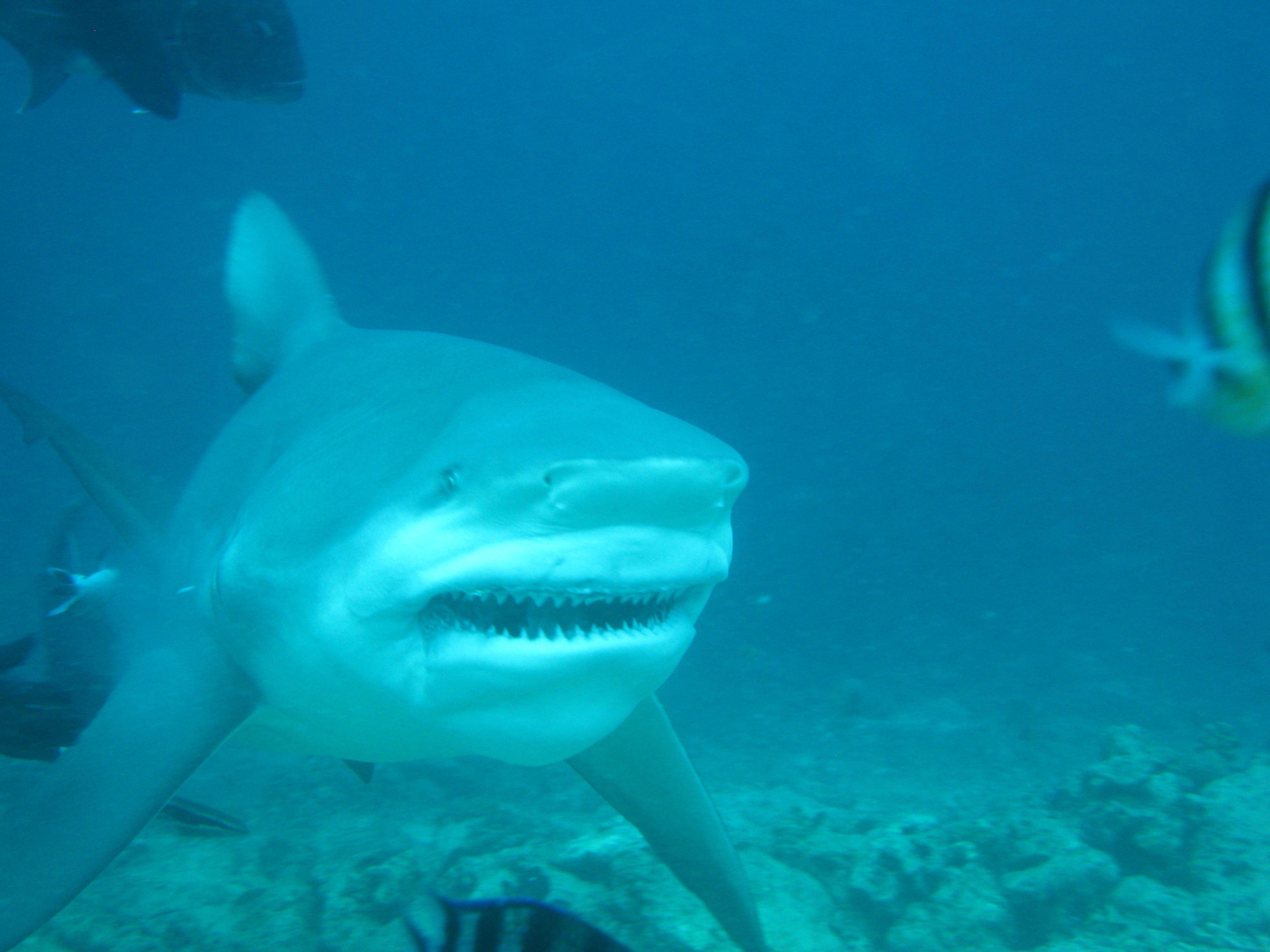 Pin By The Duchess Antiques On Swim Play Bull Shark Shark Diving Shark Fishing