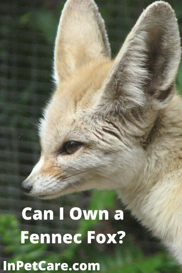 Pin on Fennec Fox Care