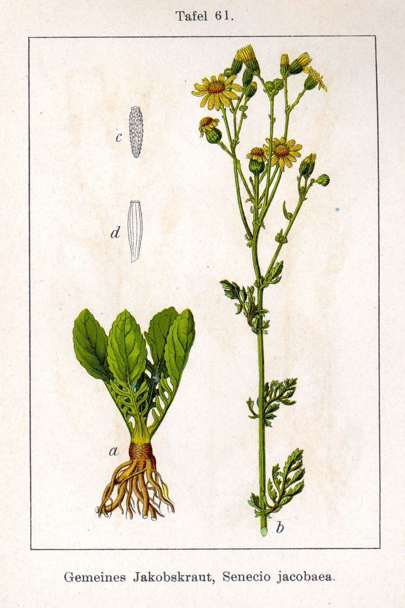 Jacobea vulgaris, Tansy ragwort, jakobskruiskruid. Deutschlands Flora in Abbildungen, Jacob Sturm und Johann Georg Sturm (1796)