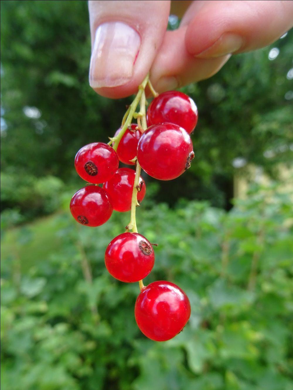 röda vinbär och rabarbersaft
