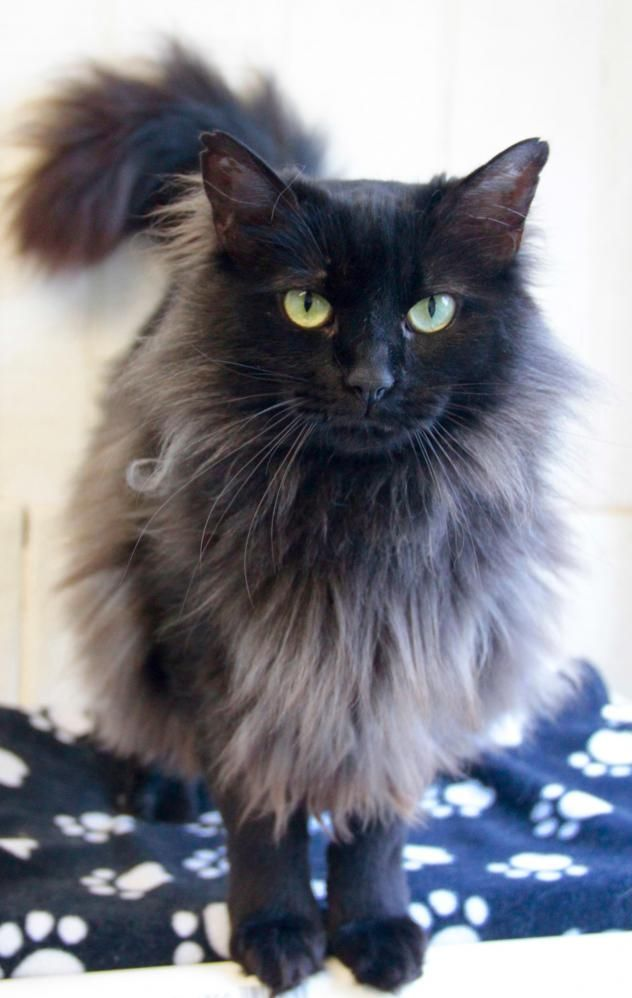 Adopt Wispy On Petfinder Cats Cat Adoption Animal Rescue