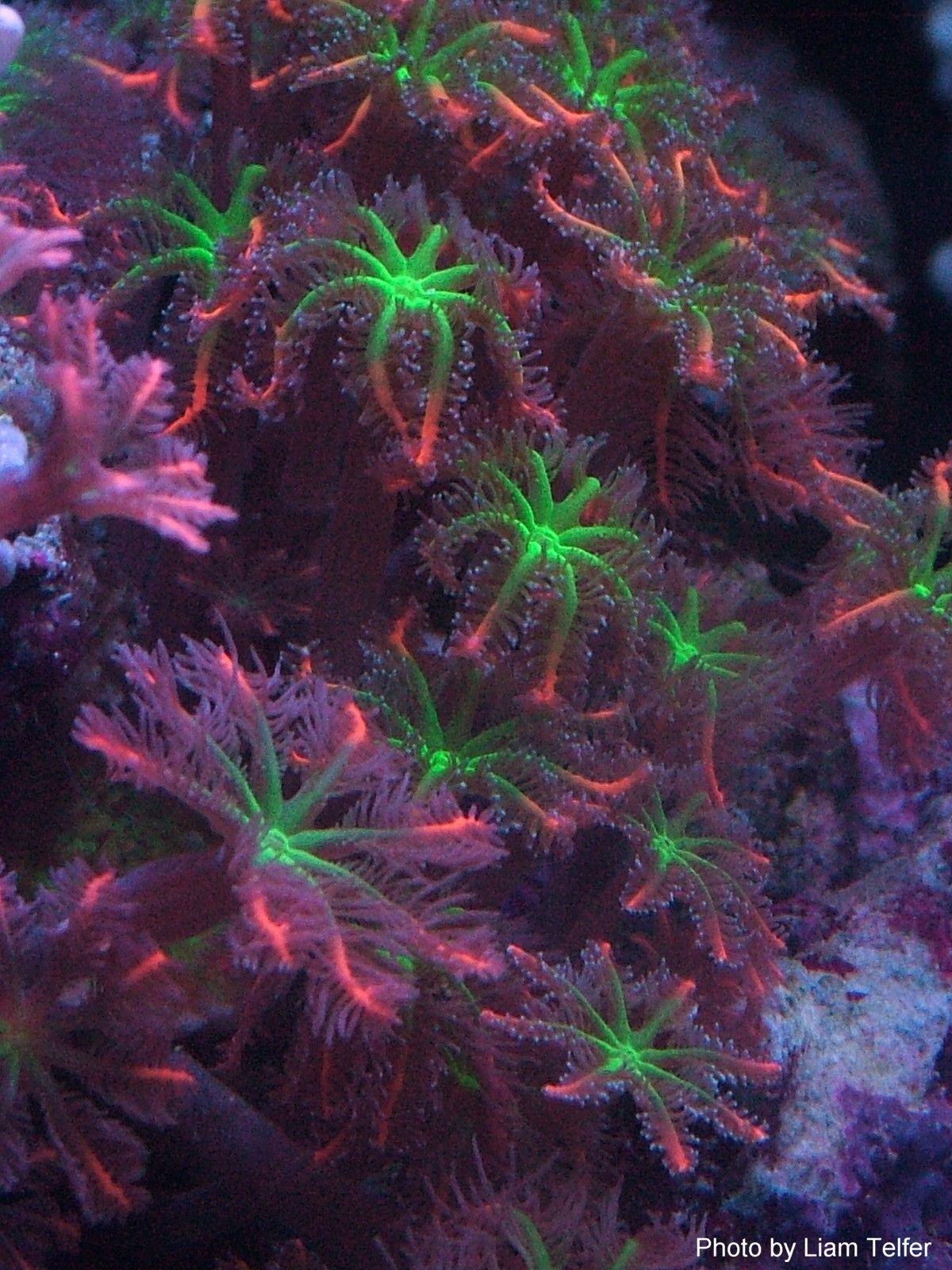 Clove Polyps coral | here fishy fishy fishy | Pinterest | Agua viva ...