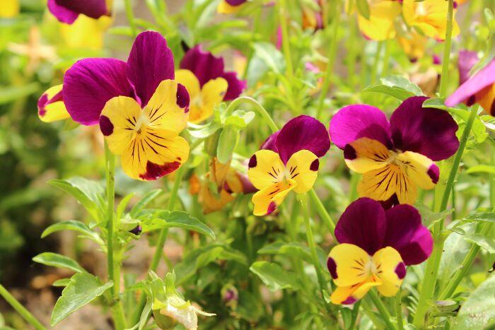 Pansy Flowers Pansies Flowers Flower Meanings Pansies