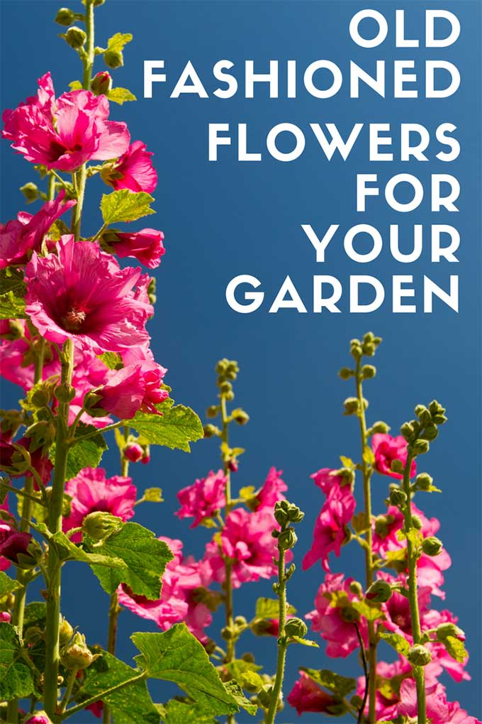 Learn How To Grow These Old Fashioned Plants In Your Modern Day Garden These Easy To Grow Vintage F In 2020 Beautiful Flowers Garden Flower Fashion Creative Gardening