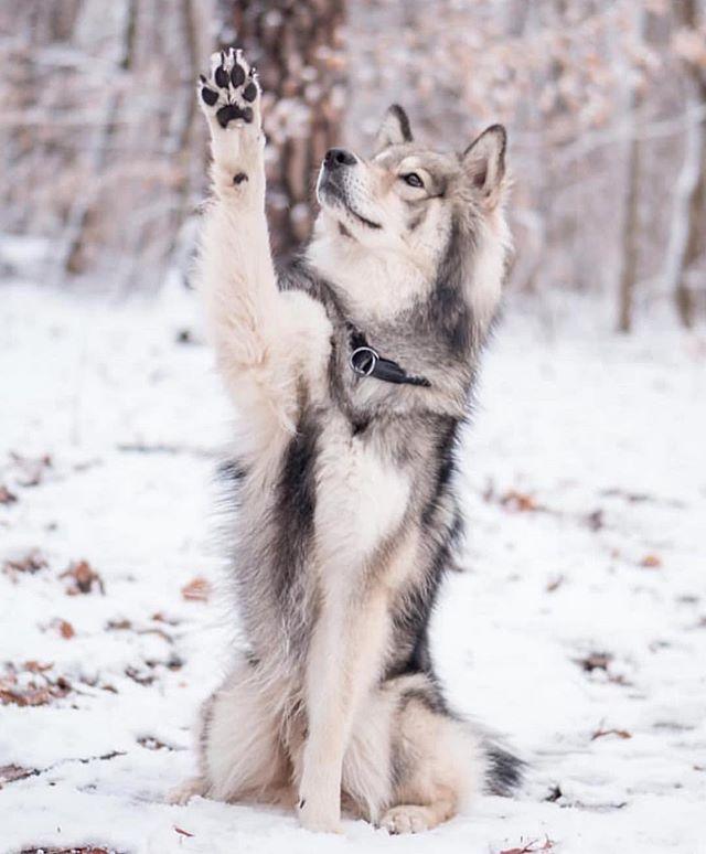 Pin Von Idk Auf Wolf Reference Hintergrundbilder Hunde Schneebilder Wilde Hunde