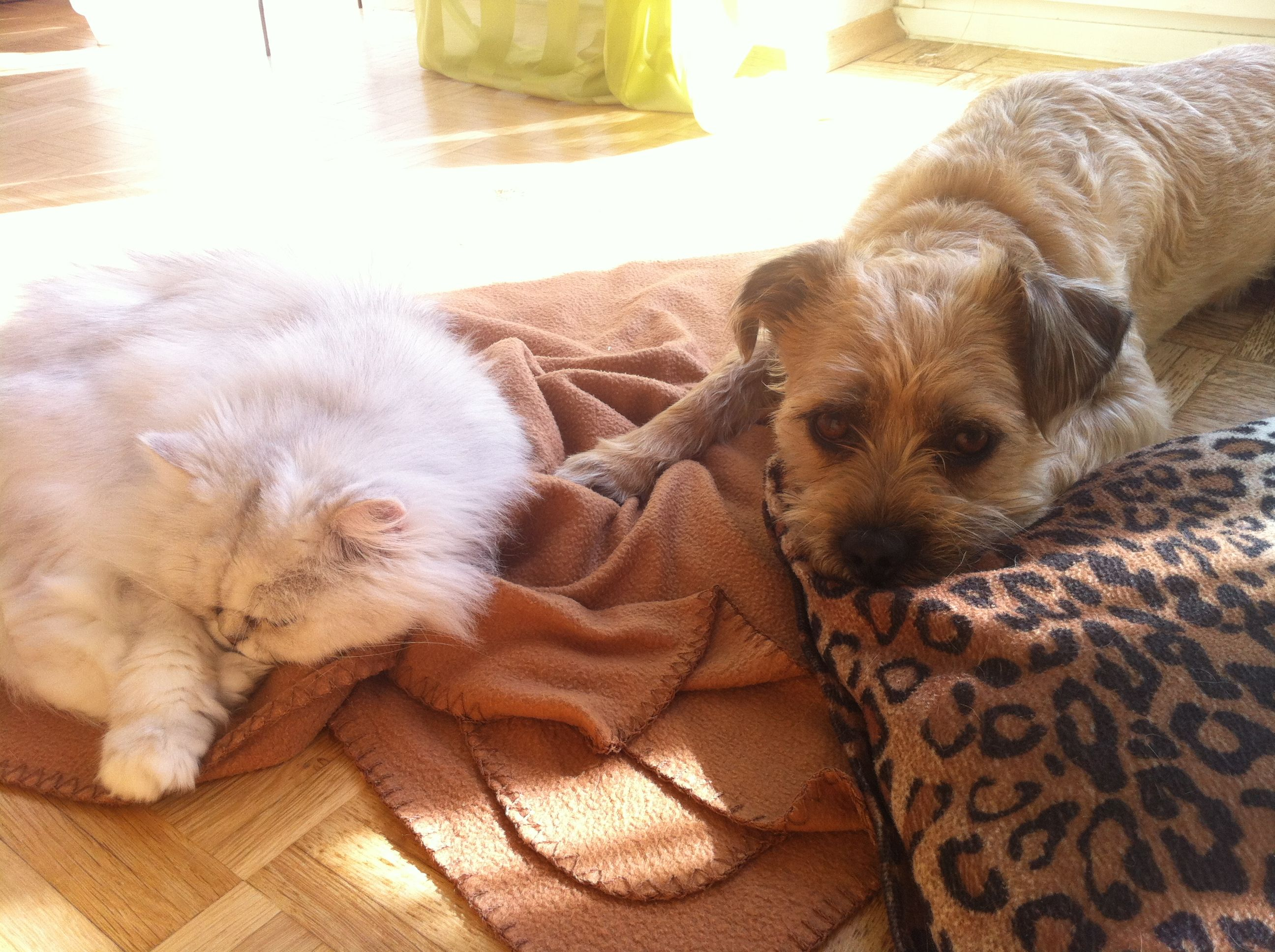 Border Terrier Miko Doesn T Mind A Fluffy White Cat Border