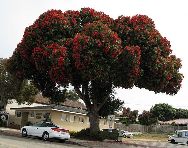 Corymbia Ficifolianative To Western Australia Family Myrtaceae