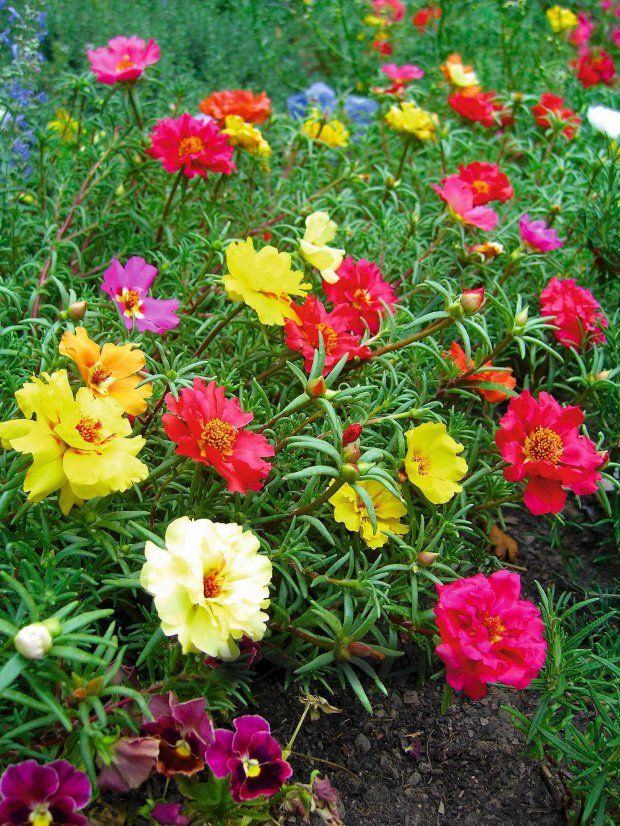 We Multiply It With Seedlings Portulaca Grandiflora Often Sown Directly Into The Ground In May Onze Horas Jardim Florido Ideias De Plantio