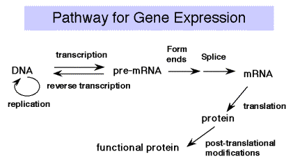 protein synthesis flow chart pdf
