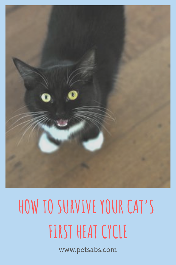 How To Survive Your Cat S First Heat Cycle Cats Cat Parenting Cat In Heat