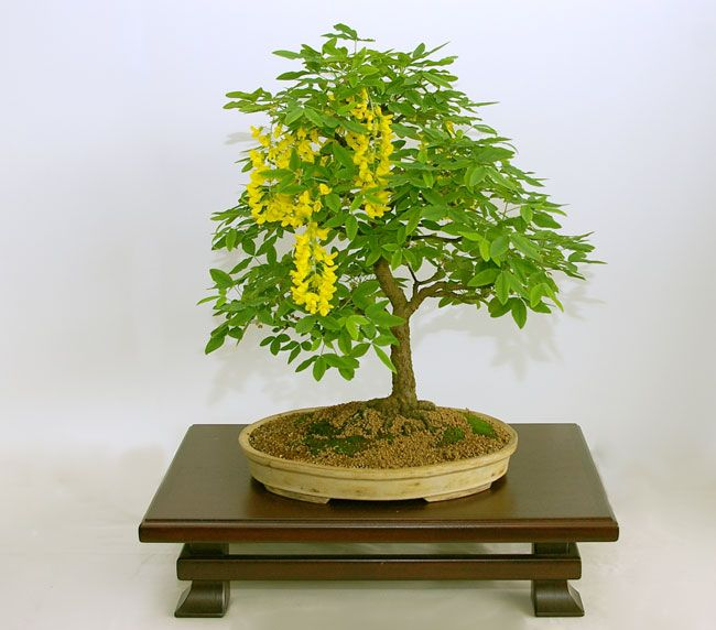 Rp laburnum anagyroides common laburnum bonsai for Bonsai hydrokultur