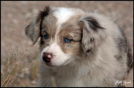 Red Merle Female Australian Shepherd Puppy Blue Eyes For More Pictures And Informaton On Aussie P Australian Shepherd Australian Shepherd Puppies Aussie Dogs