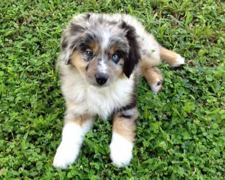 Hotch The Aussie Omg This Is My Brindle Reincarnated Just Love The Colors And Fur On This Guy Australian Shepherd Puppy Australian Shepherd Cute Puppy Names