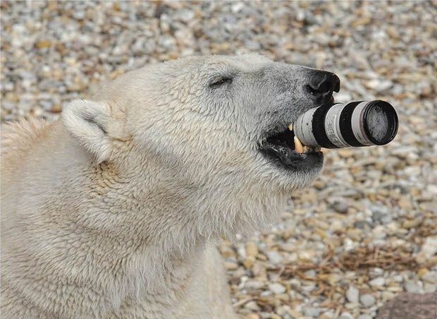Polar Bear At A German Zoo Gets Its Paws On A Canon 70 200mm Lens