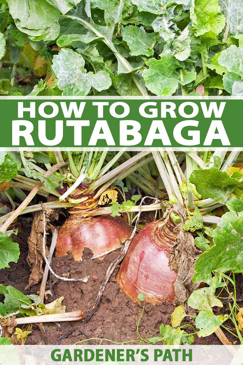 How To Grow Rutabagas A Cool Weather Crop Perfect For Fall Growing Vegetables Rutabaga Backyard Vegetable Gardens