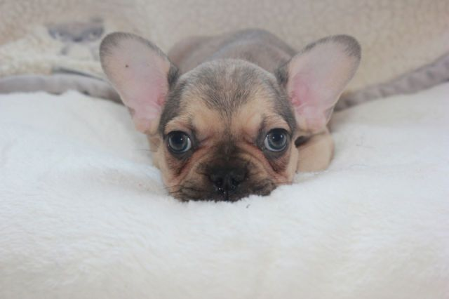 Chocolate Sable Male With Green Eyes French Bulldog Puppy
