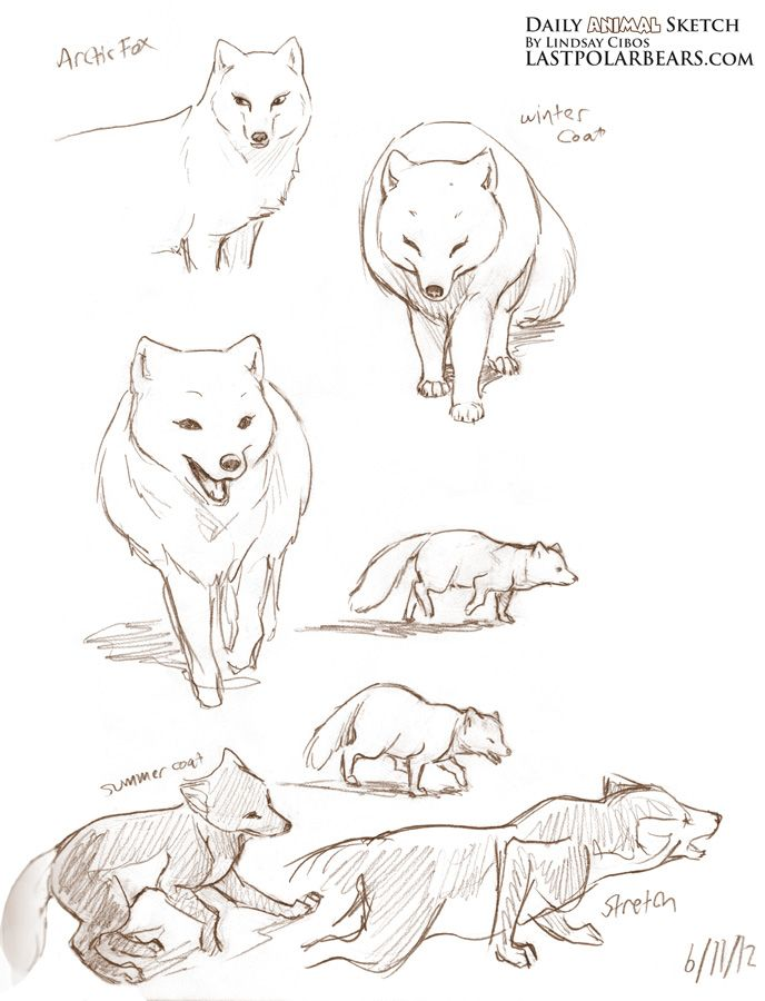 Daily Animal Sketch Arctic Fox And Polar Bears The Last Of The