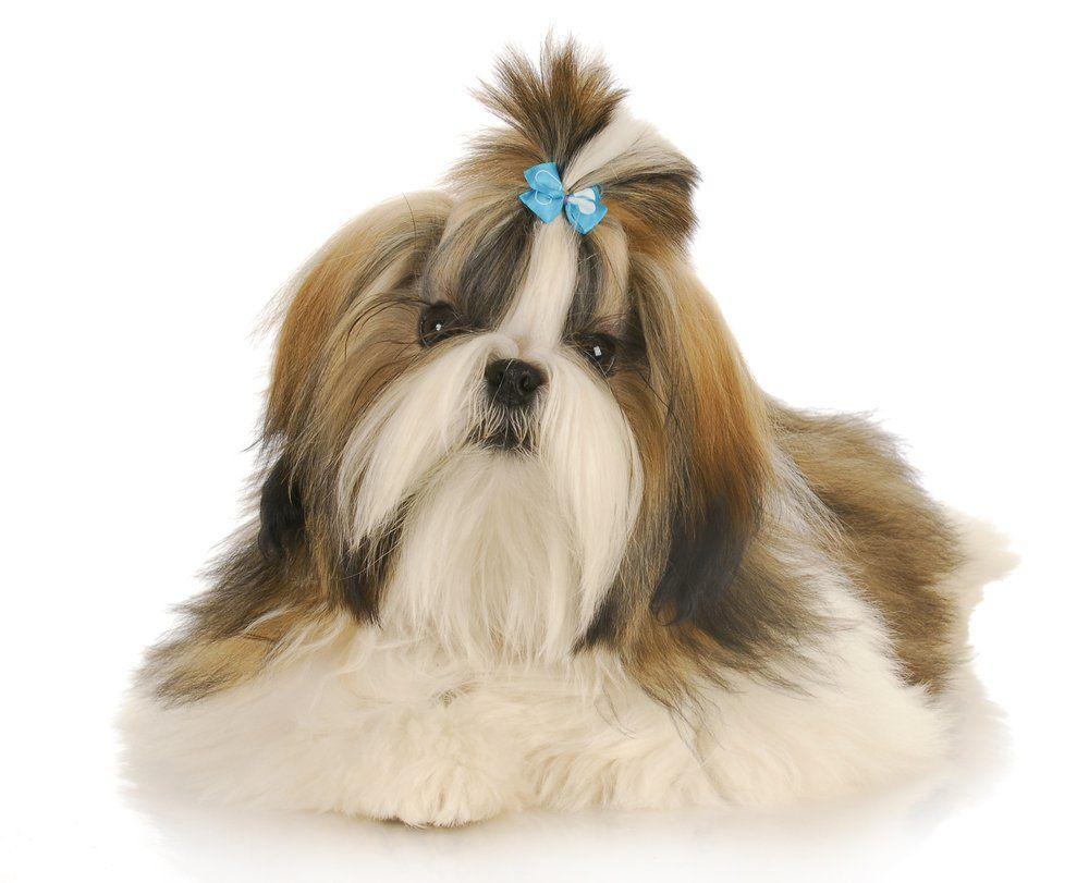 Shih Tzu Shih Tzu Shih Tzu Dog Small Dog Breeds