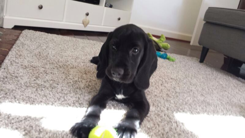 My Beautiful Speagle Cocker Spaniel X Beagle Puppy At 2 Months