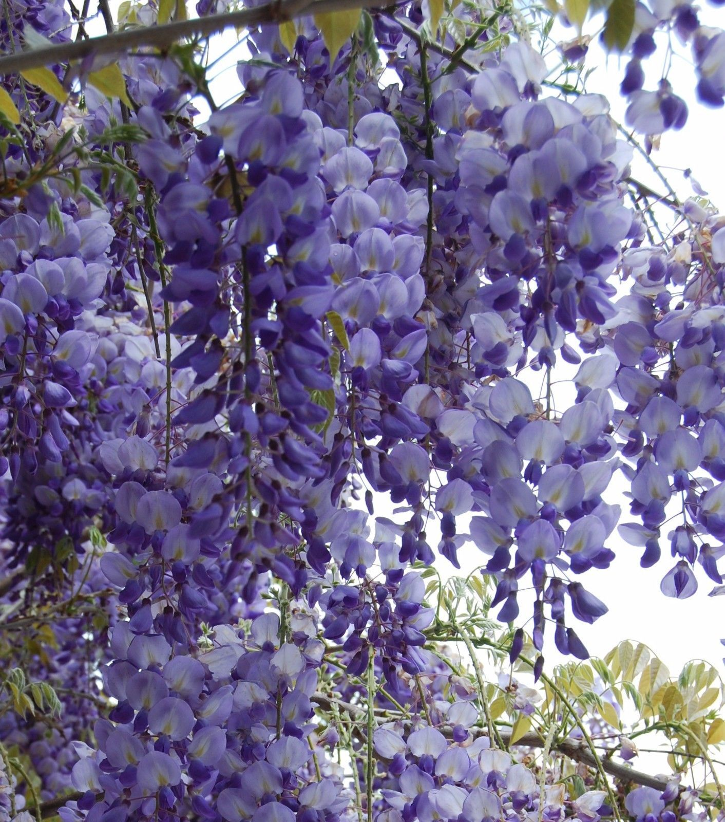 1 X 2 Ft Wisteria Sinensis Plant Rare Fragrant Climber Plant 3lt Ebay Plants Climber Plants Online Plant Nursery