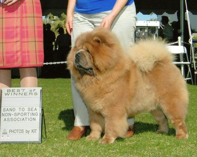 Clint Aka Ch Deja Vu Pale Rider Ofa Chow Chow Dogs Best Dogs