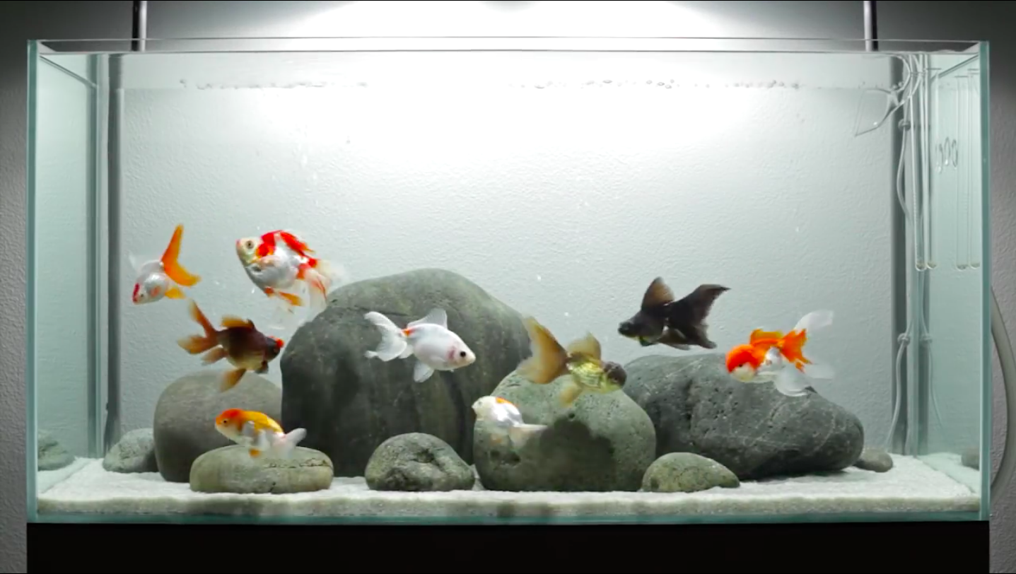 A layout for fancy goldfish adgvibe featured on the for Fancy fish tanks