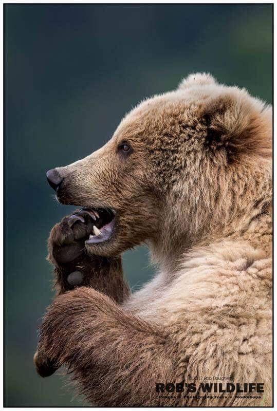 Nail Biting Coastal Brown Bear, Funny Grizzly Bear, Robs Wildlife, Bear Fine Art, Cute Woodland Anim