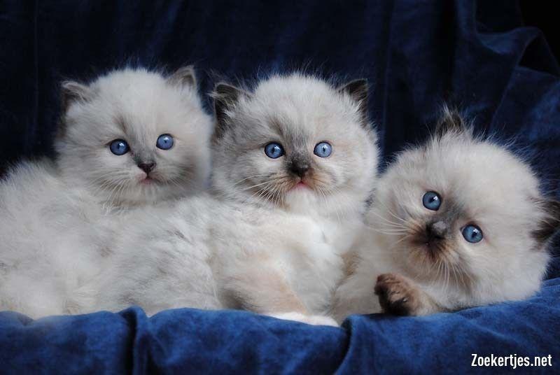 Ragdoll Kittens Tweedehands te koop geregistreerde