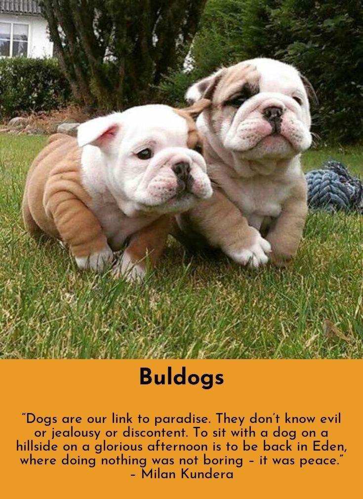 Bulldog Calm Courageous And Friendly Bulldog Cute Funny Animals Bulldog Puppies