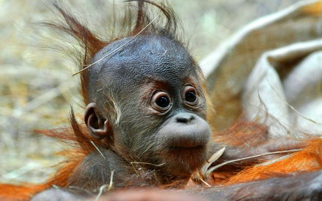 Cool Hairstyle Wallpapers Pictures Baby Animals Pictures Baby Orangutan Orangutan