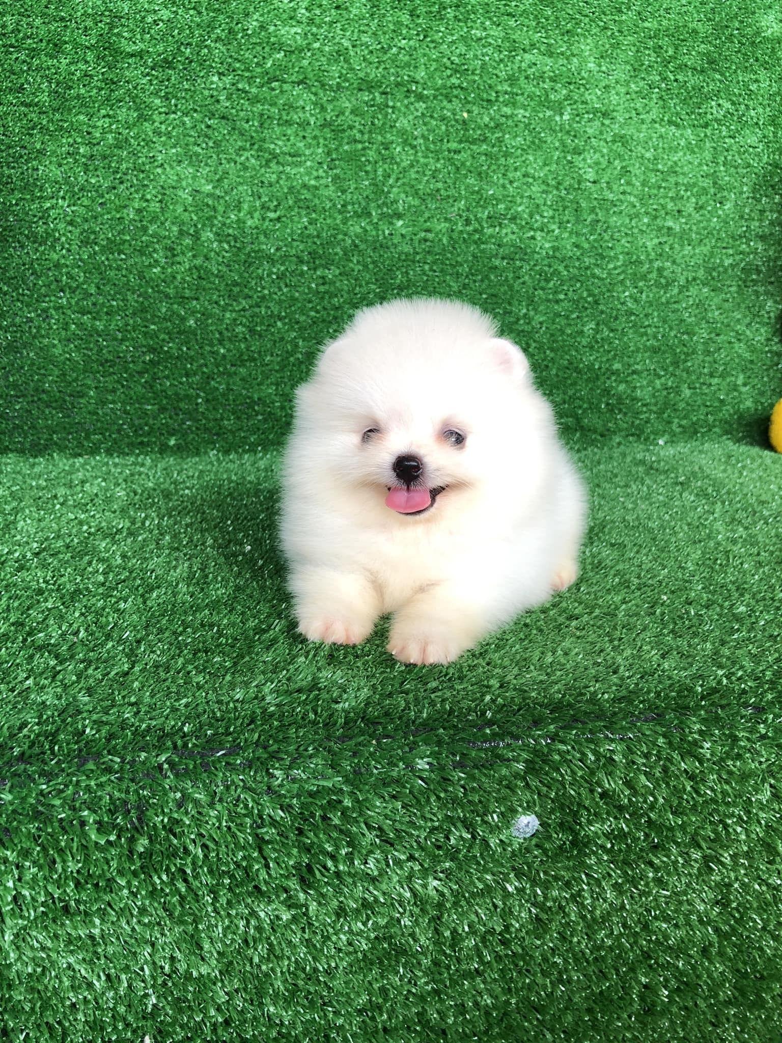 Cute pomeranian cute pomeranian baby pomeranian dog