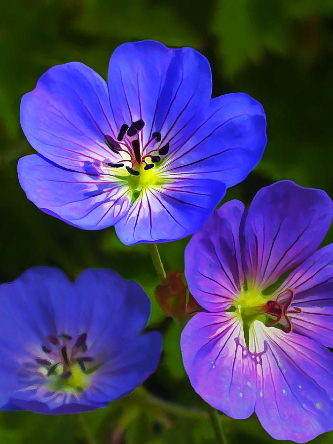 ~~Happy Face | Geranium Rozanne by Bill Caldwell - ABeautifulSky Photography~~