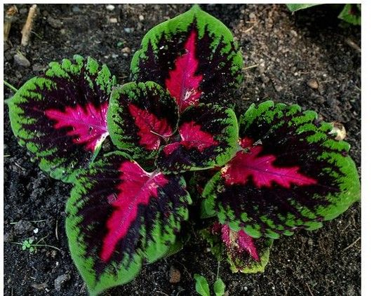les coleus de toutes les couleurs le plaisir du jardin nasrazia pinterest de. Black Bedroom Furniture Sets. Home Design Ideas