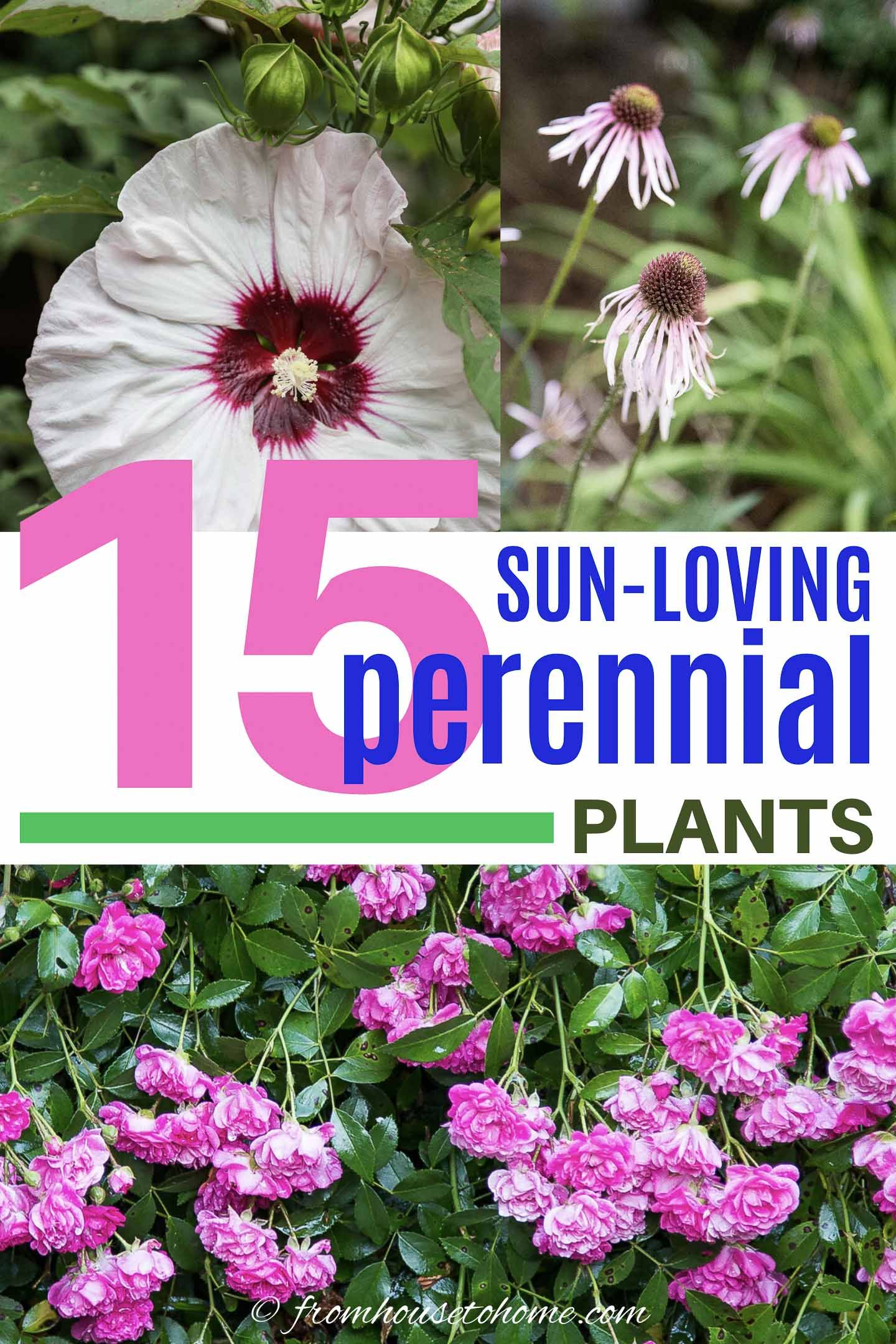 Full Sun Perennials 15 Beautiful Low Maintenance Plants That Thrive In The Sun Gardening From House To Home In 2020 Full Sun Perennials Sun Perennials Low Maintenance Plants