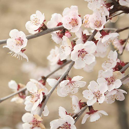 Mini Standard Japanese Blossom Cherry Prunus Kojo No Mai Japanese Blossom Ornamental Cherry Japanese Garden Plants