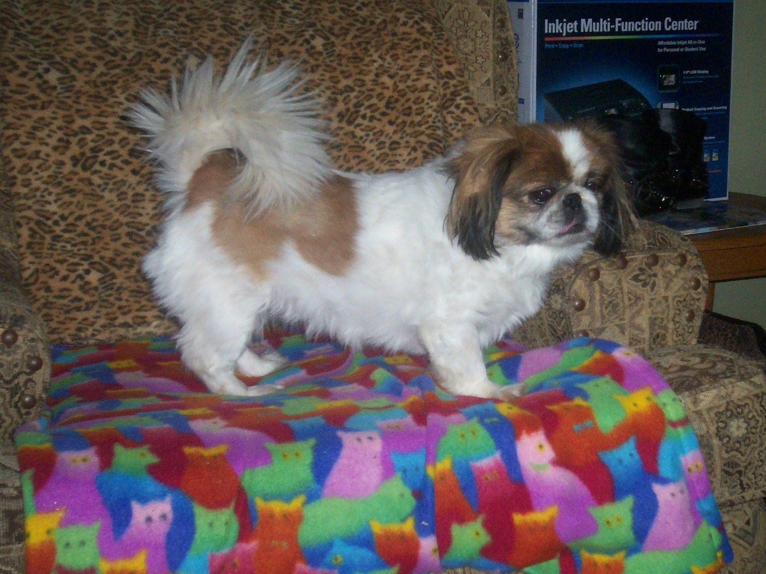 Rescue pekingese Missy One of the sweetest here with MI